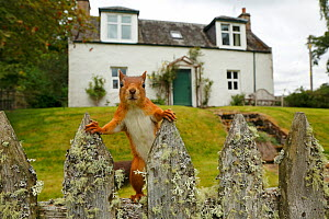 Curious Red Squirrel (Sciurus vulgaris) peering at camera from garden fence, Cairngorms National Park, Highlands, Scotland, UK, September 2016. Highly commended in the Animal Portraits category of the... - SCOTLAND: The Big Picture