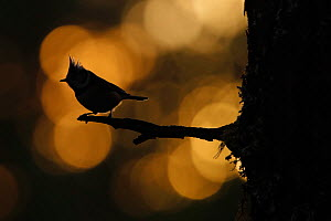 Crested tit (Lophophanes cristatus) at sunset silhouetted against forest bokeh. Cairngorms National Park, Highlands, Scotland, UK - SCOTLAND: The Big Picture