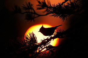 Crested tit (Lophophanes cristatus) at sunset silhouetted against setting sun. Cairngorms National Park, Highlands, Scotland, UK, October. - SCOTLAND: The Big Picture
