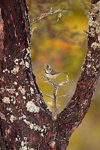 Crested tit (Lophophanes cristatus) framed by branches on old scots pine tree, Cairngorms National Park, Highlands, Scotland, UK, January. - SCOTLAND: The Big Picture