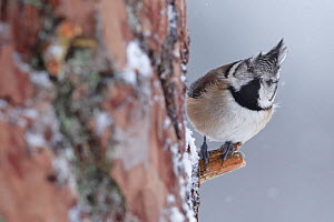 Crested tit (Lophophanes cristatus) peering round trunk of Scots pine tree, Cairngorms National Park, Highlands, Scotland, UK, January. - SCOTLAND: The Big Picture