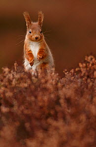 Red Squirrel (Sciurus vulgaris) standing alert amongst heather, Cairngorms National Park, Highlands, Scotland, UK, March. - SCOTLAND: The Big Picture