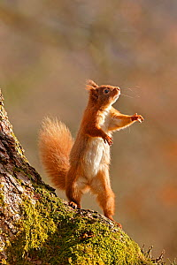Red Squirrel (Sciurus vulgaris) reaching up and standing on hind legs. Cairngorms National Park, Highlands, Scotland, UK, March. - SCOTLAND: The Big Picture