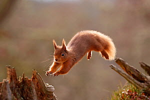 Red Squirrel (sciurus vulgaris) leaping between tree stumps, backlit in morning light .Cairngorms National Park, Scotland, UK, March. - SCOTLAND: The Big Picture
