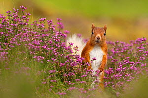 Red squirrel (Sciurus vulgaris) amongst Bell heather (Erica cinerea) Cairngorms National Park, Highlands, Scotland, August. - SCOTLAND: The Big Picture