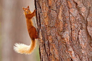 Red squirrel (Sciurus vulgaris) in summer coat on Scots pine tree trunk, Highlands, Scotland - SCOTLAND: The Big Picture