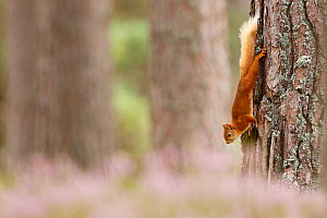 Red squirrel (Sciurus vulgaris) climbing down  Scots pine tree, with heather in bloom, Highlands, Scotland, UK, August.  -  SCOTLAND: The Big Picture