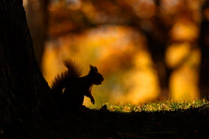 Red squirrel (Sciurus vulgaris) silhouetted against autumnal woodland, Highlands, Scotland, UK, October. Winner of the Seasons Category of the British Wildlife Photography Awards (BWPA) competition 20... - SCOTLAND: The Big Picture