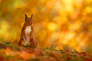 Red squirrel (Sciurus vulgaris) on forest floor with autumn leaves Highlands, Scotland, UK, October. - SCOTLAND: The Big Picture