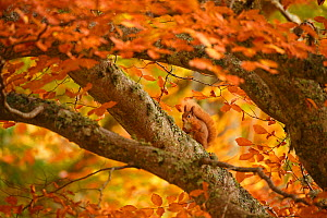Red squirrel (Sciurus vulgaris) on branch in autumnal forest, Cairngorms National Park, Highlands, Scotland, UK, October - SCOTLAND: The Big Picture