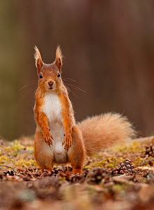 Red squirrel (Sciurus vulgaris) male standing upright in alert pose,Cairngorms National Park, Highlands, Scotland, UK, May 2016. - SCOTLAND: The Big Picture