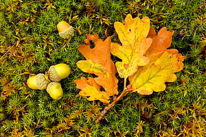 Sessile Oak (Quercus petraea) fallen oak leaf and acorns on moss,  Highlands, Scotland, October.  -  SCOTLAND: The Big Picture