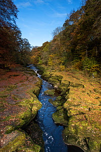 River Wharfe running through The Stid, a narrow, deep cleft in rock, Bolton Abbey, Yorkshire, England, UK, November 2016. - Graham Eaton