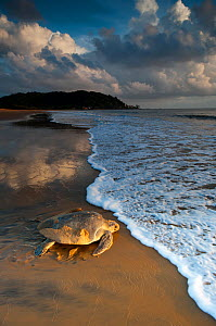 Olive / Pacific ridley sea turtle (Lepidochelys olivacea) female returning to the sea after laying eggs, Cayenne, French Guiana, July.  -  Graham Eaton