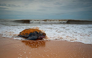 Leatherback turtle (Dermochelys coriacea) female returning to the sea after egg laying, Cayenne, French Guiana. - Graham Eaton