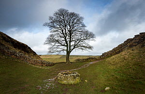 Sycamore (Acer pseudoplatanus) in Sycamore Gap, Hadrian's Wall. The wall is constructed on The Whin Sill, a layer of hard intrusive, volcanic Dolerite. Between Steel Rigg and Houseteads, Northumberlan...  -  Graham Eaton