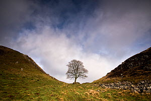 Hadrian's Wall at Sycamore Gap, between Steel Rigg and Housesteads, Northumberland, England, UK, March 2017.  -  Graham Eaton