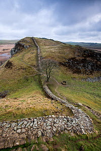 Hadrian's Wall at Sycamore Gap between Steel Rigg and Housesteads on The Whin Sill, a layer of hard intrusive, volcanic Dolerite naturally forming high ground, Northumberland, England, UK, March 2017.  -  Graham Eaton
