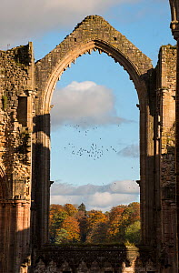 Archway at Fountains Abbey framing a flock of birds that were disturbed by a Peregrine falcon, Ripon, Yorkshire, England, UK, November 2016. - Graham Eaton