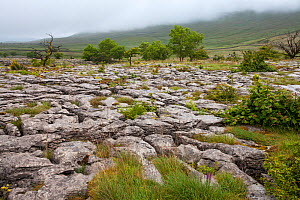 Southerscales Scar, Yorkshire Wildlife Trust Reserve, near Chapel-le-Dale, Yorkshire Dales National Park, Yorkshire, England, UK, July.  -  Mike Read