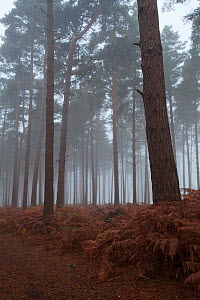 Scots pine (Pinus sylvestris) woodland in early morning mist, Roydon Woods Hampshire and Isle of Wight Wildlife Trust Reserve, near Romsey, New Forest National Park, Hampshire, England, UK, October. - Mike Read