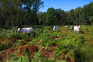 White park cattle amongst Bracken (Pteridium aquilinum) Hook Common Hampshire and Isle of Wight Wildlife Trust Reserve, near Hook, Hampshire, England, UK, August. - Mike Read