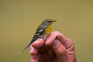 Northern parula (Setophaga americana) in the hand after ringing, Shore Road, Grand Manan Island, Canada, August.  -  Mike Read