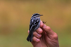 Black and white warbler (Mniotilta varia) during bird ringing, Shore Road, Grand Manan Island, Canada, August.  -  Mike Read