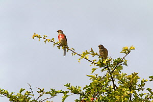 Common linnet (Carduelis cannabina) pair perched in Hawthorn (Crataegus monogyna) Broughton Down Hampshire and Isle of Wight Wildlife Trust Reserve, Broughton, Hampshire. England, UK August. - Mike Read