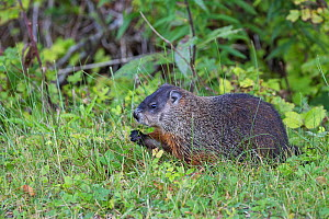 Woodchuck (Marmota monax) feeding on grass verge beside the road to Wolfe Point, near Alma New Brunswick, Canada, August.  -  Mike Read
