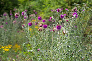 Musk thistle (Carduus nutans) Broughton Down Hampshire and Isle of Wight Wildlife Trust Reserve, near Broughton, Hampshire, England, UK, July. - Mike Read