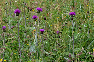 Melancholy thistle (Cirsium helenioides) in wildflower meadow, Askrigg Bottoms, near Askrigg, Yorkshire Dales National Park Yorkshire, England, UK, July.  -  Mike Read