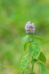 Water mint (Mentha aquatica) in damp heathland, Bartley Heath Hampshire and Isle of Wight Wildlife Trust Reserve, near Hook, Hampshire, England, UK, August 2016.  -  Mike Read