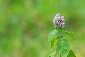 Water mint (Mentha aquatica) in damp heathland, Bartley Heath Hampshire and Isle of Wight Wildlife Trust Reserve, near Hook, Hampshire, England, UK, August.  -  Mike Read