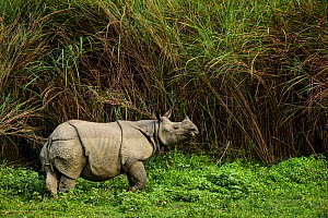 Indian rhinoceros (Rhinoceros unicornis) Rajiv Gandhi Orang National Park, Assam, India, February.  -  Nayan Khanolkar
