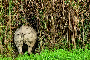 Indian rhinoceros (Rhinoceros unicornis) rear view, Rajiv Gandhi Orang National Park, Assam, India, February.  -  Nayan Khanolkar