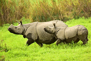 Indian rhinoceros (Rhinoceros unicornis) mother and young. Rajiv Gandhi Orang National Park, Assam, India, February.  -  Nayan Khanolkar