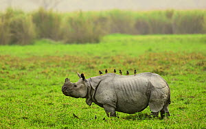 Indian rhinoceros (Rhinoceros unicornis)  with Mynah birds  (Acridotheres sp) perched on back,  Rajiv Gandhi Orang National Park, Assam, India, February.  -  Nayan Khanolkar