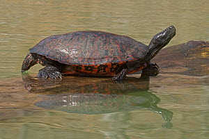 Northern red-bellied turtle (Pseudemys rubriventris) basking, Maryland, USA, April. - John Cancalosi
