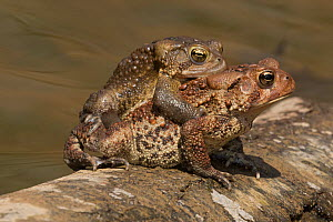 American toads (Anaxyrus americanus) mating pair in amplexus, Maryland, USA, April.  -  John Cancalosi