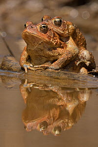 American toads (Anaxyrus americanus) mating pair in amplexus, Maryland, USA. April.  -  John Cancalosi