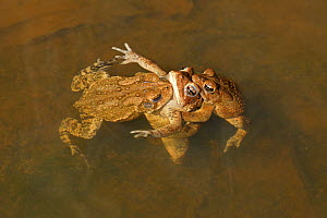American toads (Anaxyrus americanus) several males attempting to mate with a single female, Maryland, USA. April.  -  John Cancalosi