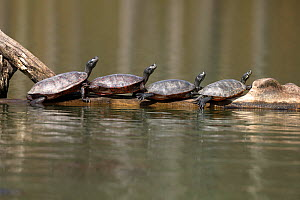 Northern red-bellied turtles (Pseudemys rubriventris) basking, Maryland, USA. - John Cancalosi