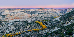 Cottonwood (Populus fremontii) trees in autumn at sunset, forming a sinuous line of yellow trees. Deer Creek Canyon, Grand Staircase-Escalante National Monument, Utah, USA, October.  -  Jack Dykinga