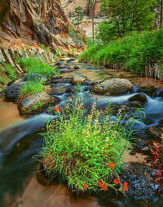 Indian paintbrush (Castilleja sp.) flowers amid  boulders in a stream,  in narrow canyon with conifers in background Grand Staircase-Escalante National Monument, Utah, USA. - Jack Dykinga