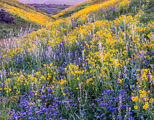 Massive wildflower display Lanceleaf monolopia 1+Monolopia lanceolata+2 Great Valley phacelia 1+Phacelia civiliata+2 and purple Lemmon's mustard 1+Caulanthus anceps+2 The Temblor Range  in evening...  -  Jack Dykinga