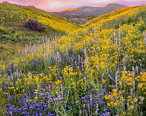 Mass wildflower display Lanceleaf monolopia (Monolopia lanceolata) Great Valley phacelia (Phacelia civiliata) and purple Lemmon's mustard, (Caulanthus anceps) The Temblor Range  in evening light in th...  -  Jack Dykinga