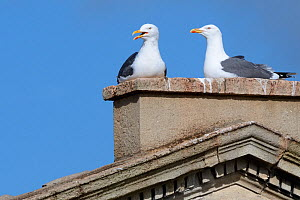 Lesser black-backed gull (Larus fuscus) pair nesting on Pulteney Bridge, Bath, UK, March. - Nick Upton