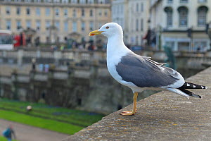 Lesser black-backed gull (Larus fuscus) perched on a wall overlooking Parade Gardens Park looking out for food scraps to scavenge, Bath, UK, March. - Nick Upton