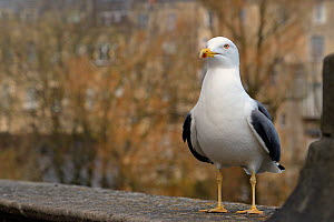 Lesser black-backed gull (Larus fuscus) perched on a wall, Bath, UK, March. - Nick Upton